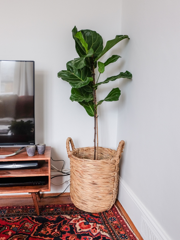 Fiddle leaf fig - and where to buy in the UK | Hello Victoria